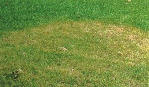Brown Patch Disease of Lawns